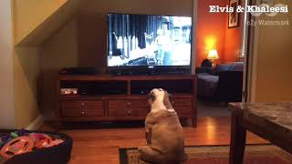 Two Bulldogs Get SO Excited When This Classic Comes On TV