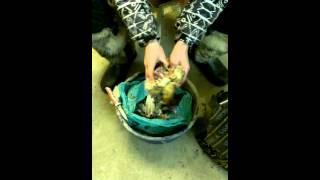 Как ощипать куропатку за 2 минуты