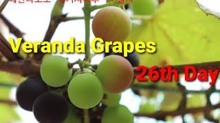 베란다포도 26일차_Veranda Grapes 26th…