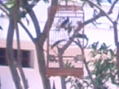 Bổi Trung Mang 1 mùa lông, đứng chim và đấu trường, thân hình giống ngũ đoản