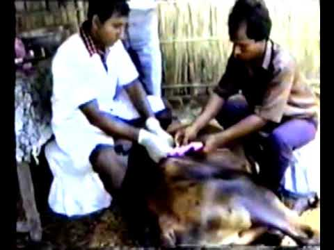 HSTU veterinary operation by Prof Dr Md Fazlul Hoque
