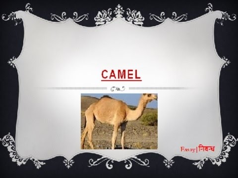 204 Words Essay for Kids on the Camel
