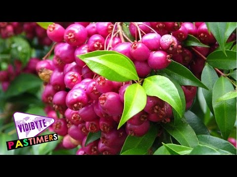 Most Popular Fruit Trees of Australia