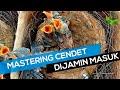 Teknik Pemasteran Cendet Umur  Minggu  Mp3 - Mp4 Download