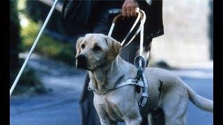 Важно: если к вам подходит собака-поводырь, немедленно сделайте это!