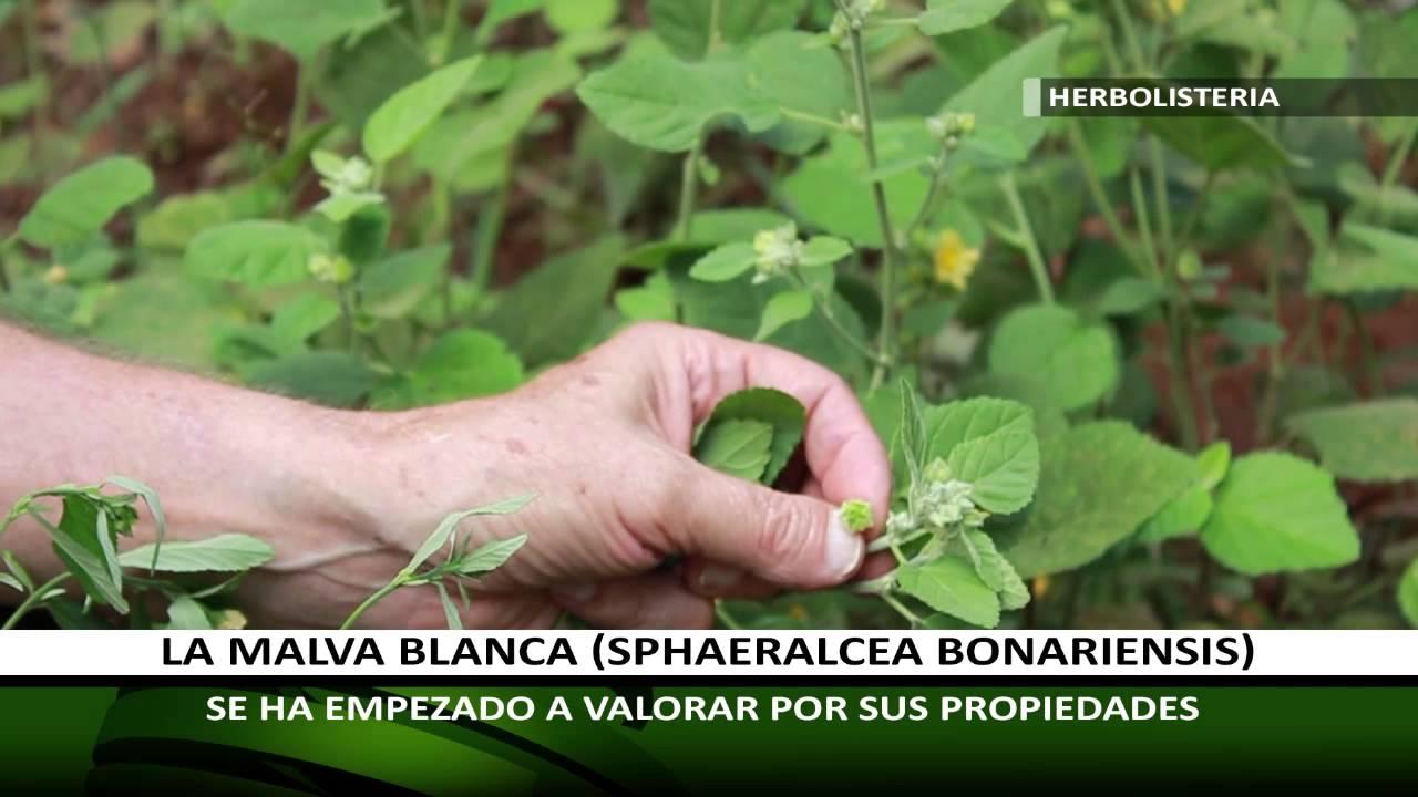 Herbolisteria La Malva Blanca Cultivo Cuidados Y Utilidad Youtube