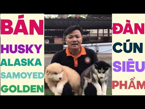 Bán chó Husky, Alaska, Samoyed…Nguyễn Thành Bán Cún Husky, Alaska, Samoyed siêu phẩm…