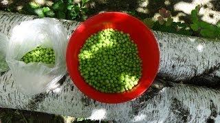 Как сохранить горох зеленый заготовка на зиму для салатов
