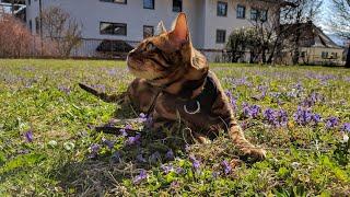 Бенгальский кот на прогулке
