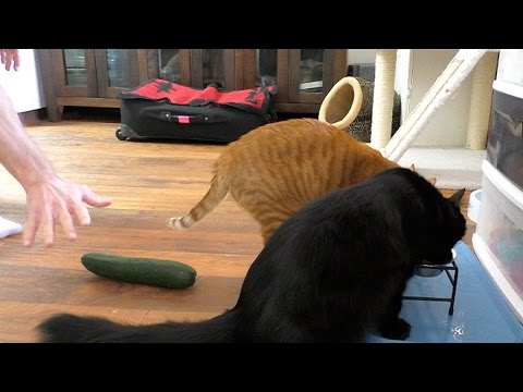 Don't Scare Your Cat With a CUCUMBER!
