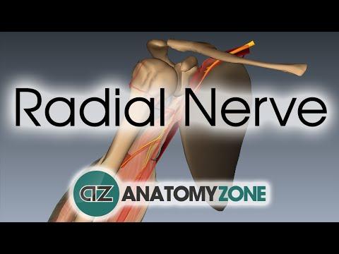 Radial Nerve | 3D Anatomy Tutorial