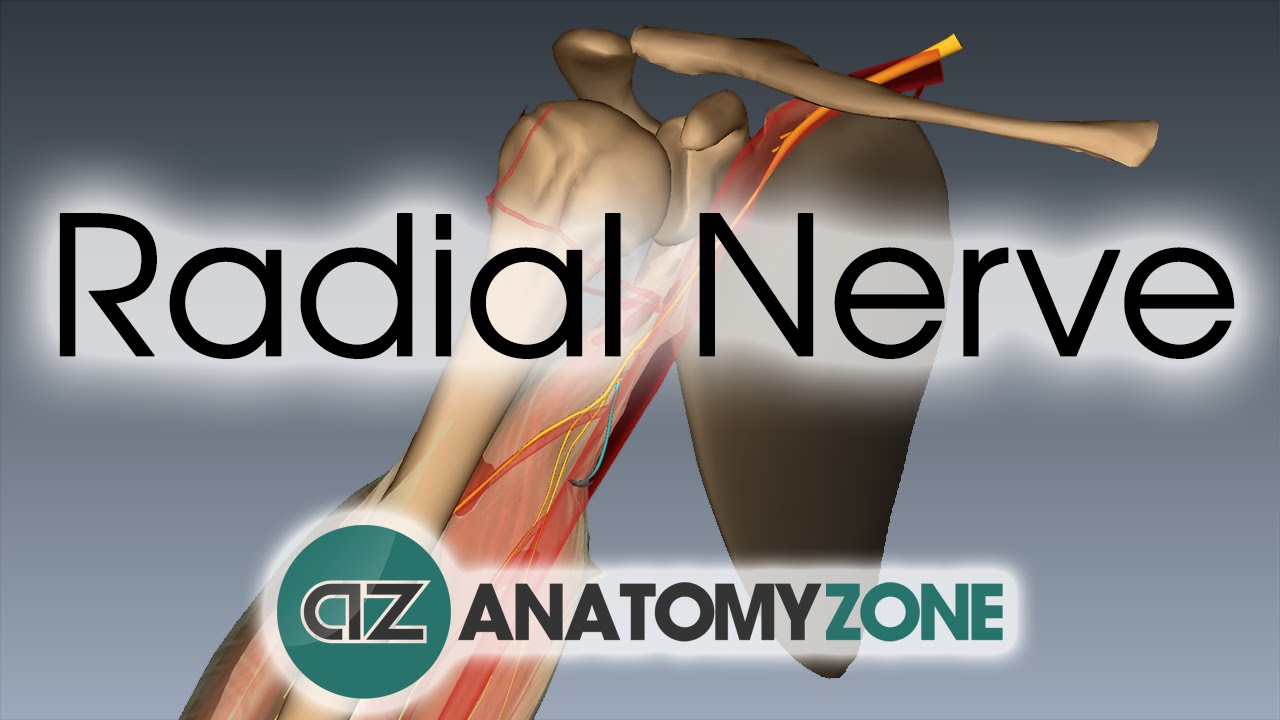 Radial Nerve 3d Anatomy Tutorial Youtube