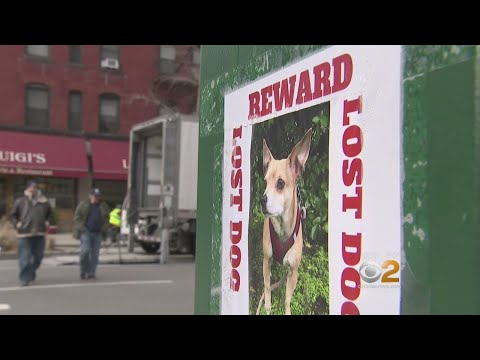 Couple Blames Popular Dog Walking Service For Lost Chihuahua