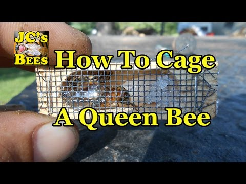 Caging A Queen Bee