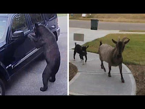 Doorbell security cameras capture the best wildlife moments