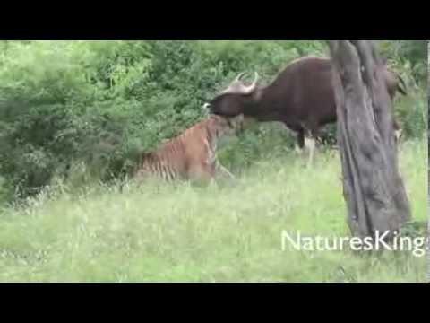 бык и тигр по гороскопу совместимость