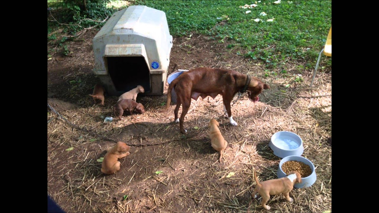 Chained Dogs of Davidson County