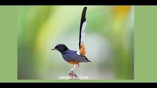 Suara burung murai batu MP3 download