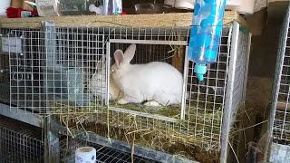 Rabbits from Start To Finish Breeding