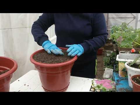 Вопрос: Гладиолусы могут расти в горшке на балконе Как выращивать?