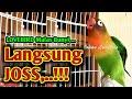 Pancingan LOVEBIRD GACOR NGEKEK PANJANG, Labet Yang Dengar Dijamin Langsung Terpancing JOSS,..!!!