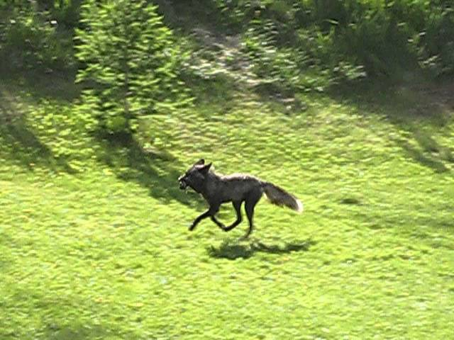 Silver Fox on Connaught Hill, Prince George, BC