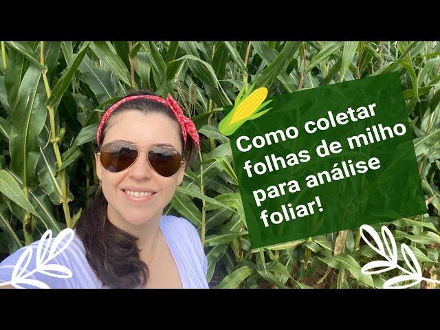 Como coletar folhas de milho para análise foliar!