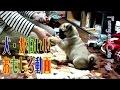 【犬 おもしろ動画】赤ちゃんパグ ボールを扱う仕草が、かわいすぎる!
