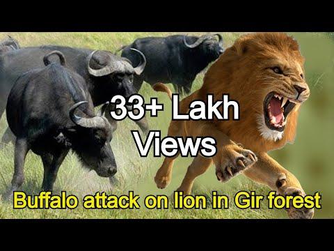 गिर जंगल की हैरतअंगेज घटना, भेस ने किया शेर पर हमला !  Buffalo attack on lion in Gir forest