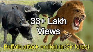 भेसा ने किया शेर पर हमला! गीर जंगल की हैरतअंगेज घटना, Buffalo attack on Asiatic lion in Gir forest