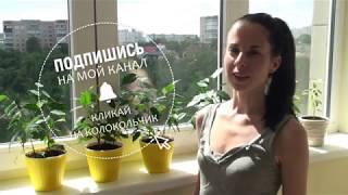 Пересадка черенков Даниэля в жёлтые горшочки. Солнечное настроение