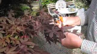 Pruning Japanese Maple's