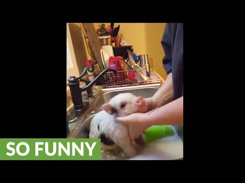 Mini Pig is hesitant to take kitchen bath, but quickly learns to love it!