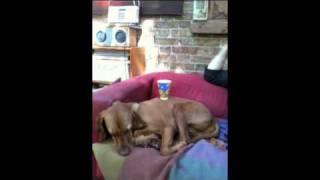 Dog Coffee Table
