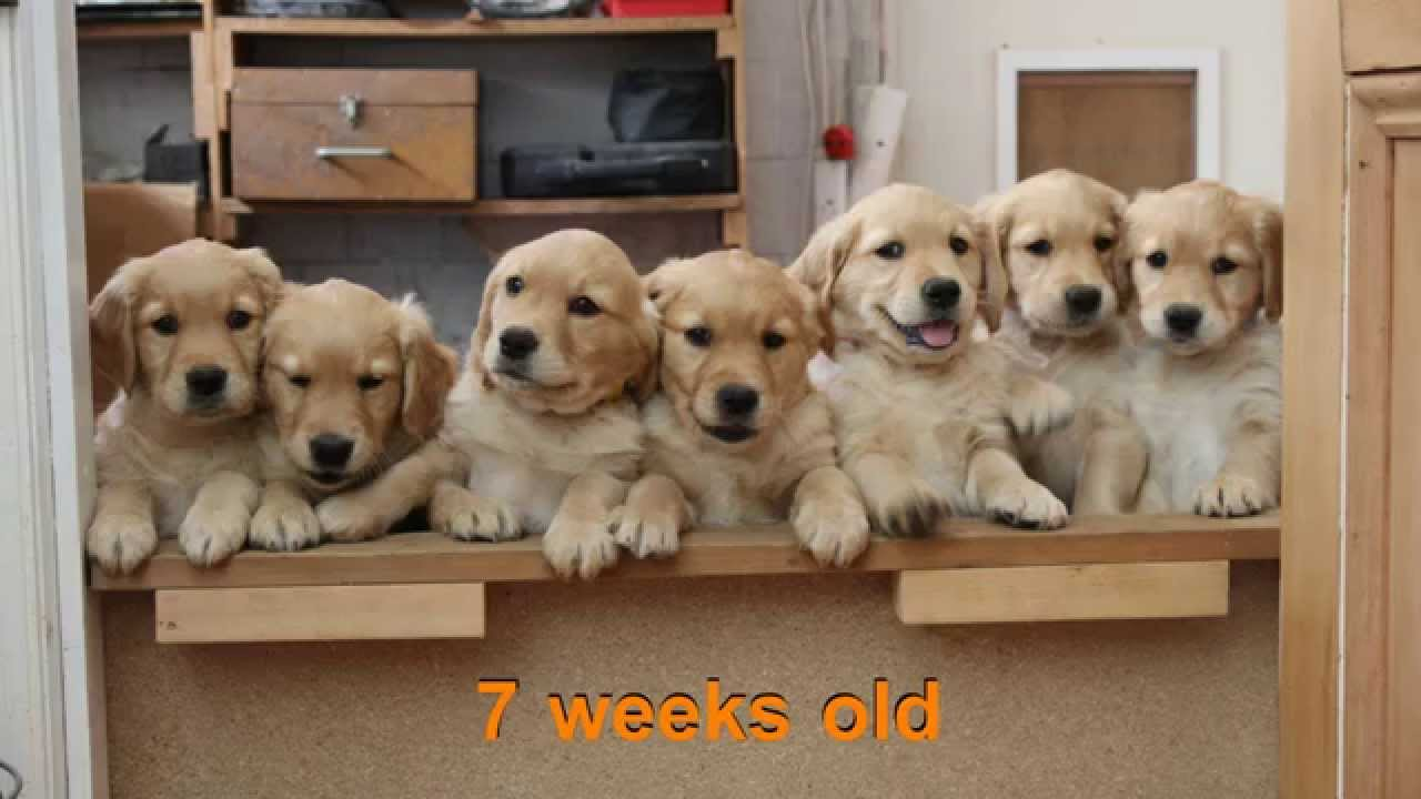 Golden retriever puppies 5 weeks old