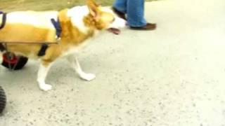 коляска протез для парализованых собак контакт 00.32.478 46 05 08 http://www.handicappedpets.be