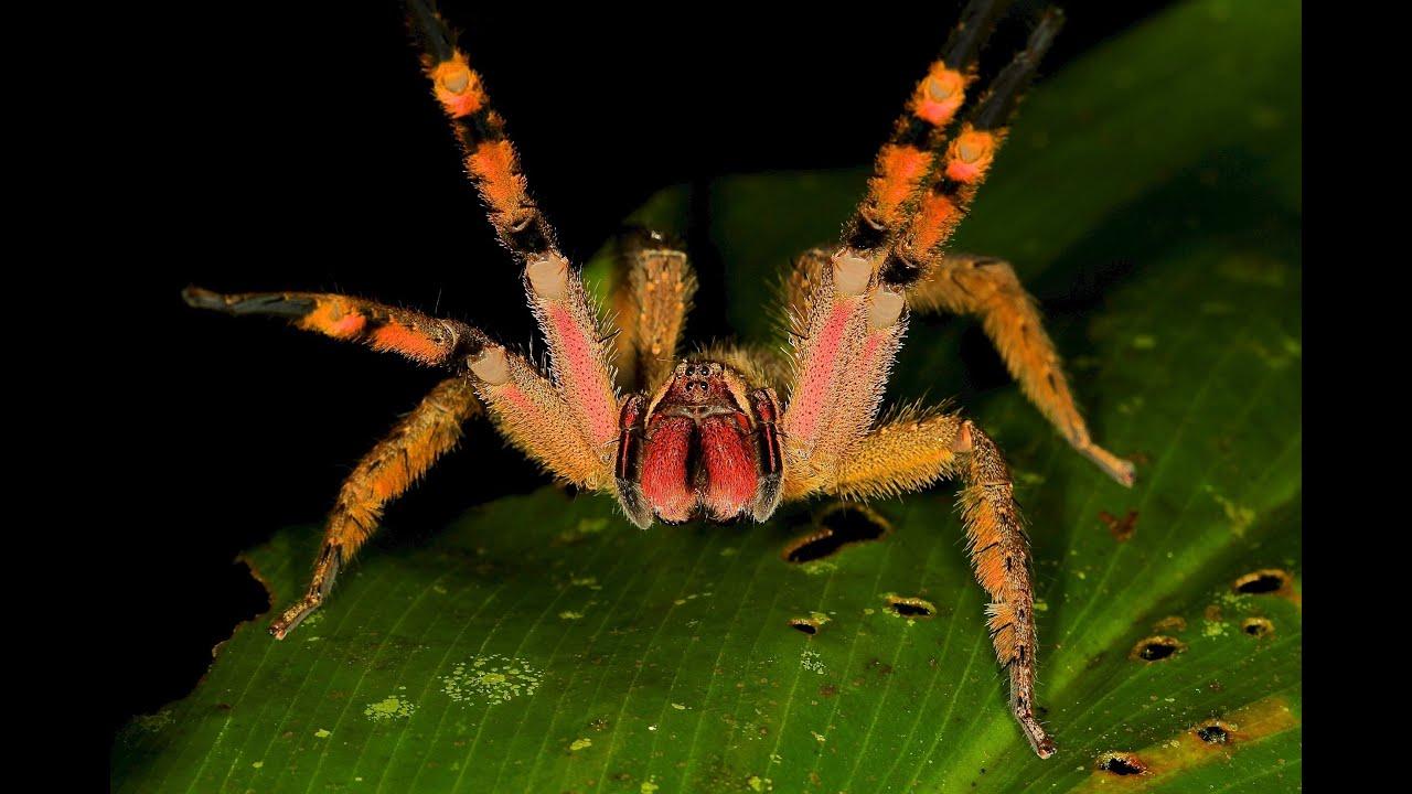 Most venomous spider - YouTube - photo#15