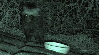 【野生動物・地域猫】たぬ吉の疥癬症治療‼二回目のヒゼンダニ駆除に挑む‼【魚くれくれ野良猫製作委員会】