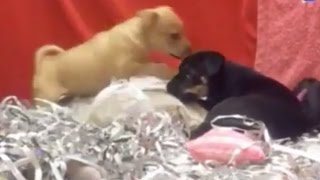 Puppies Playing (ADOPT THEM!) | The Dodo