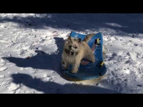 Dog Sledding Leo the Cairn Terrier