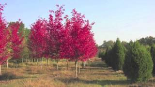 Fast Growing Autumn Blaze Maple