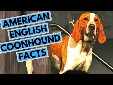 American English Coonhound Dog Breed - Facts and Information