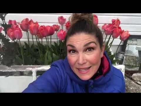 Odla Tulpaner Vad Gör Man Med Överblommade Tulpaner ,när tulpanerna har blommat över i rabatten ?