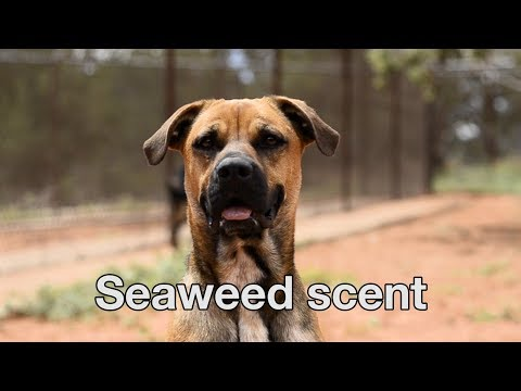 Romance Tips From The Love Dogtor Tip #5 - Seaweed Scent