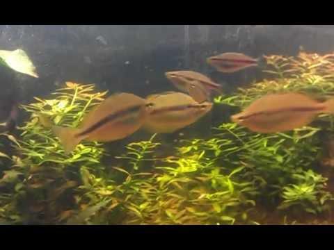For Sale: 7 Running Creek Rainbowfish (Melanotaenia Trifasciata) + 1 Purple Spotted Gudgeon