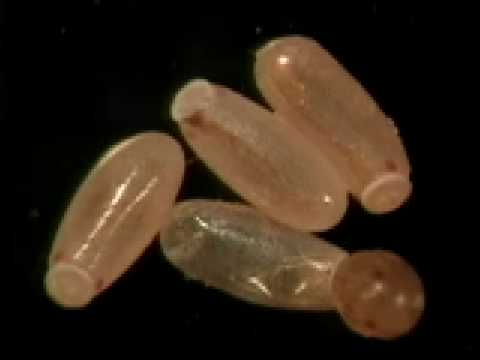 Bed Bug Hatching Youtube