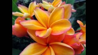 Plumérias: flores estonteantes. Plumerias Flowers thumbnail