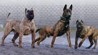 10 Most Amazing Brindle Dog Breeds
