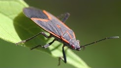 Red and black bugs everywhere: What they are, how to get rid of them