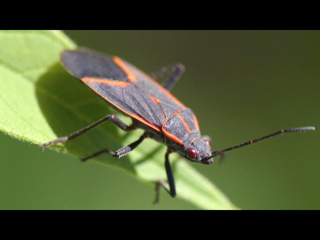 red-and-black-bugs-all-over-house-what-are-they-how-to-get-rid-of-them
